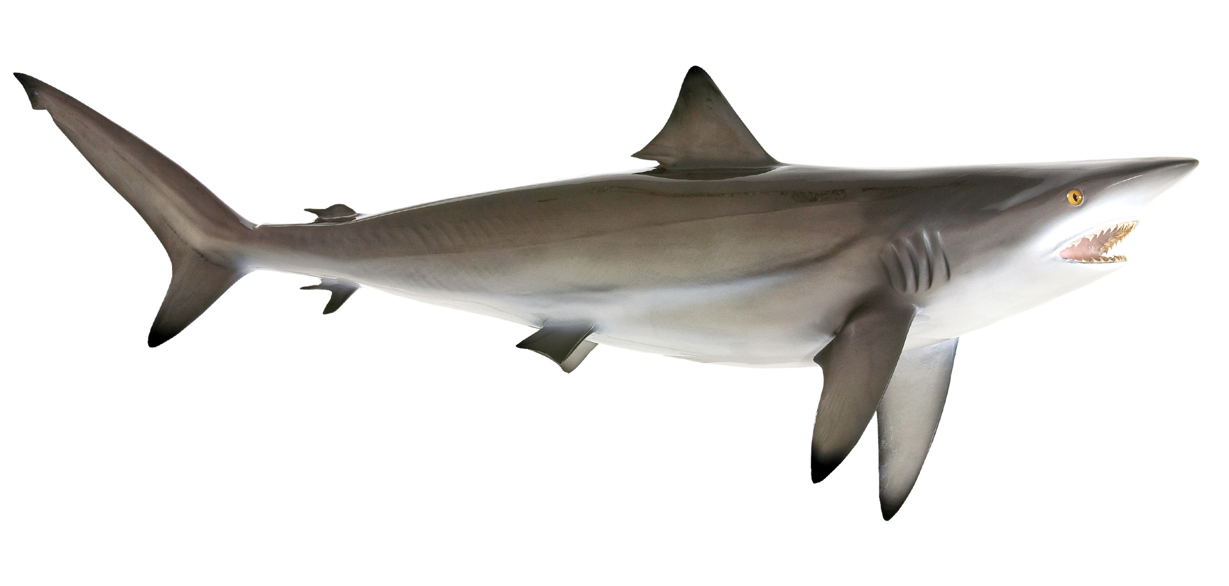 Blacktip shark fish replica mounted blacktip shark blacktip shark mount thecheapjerseys Gallery
