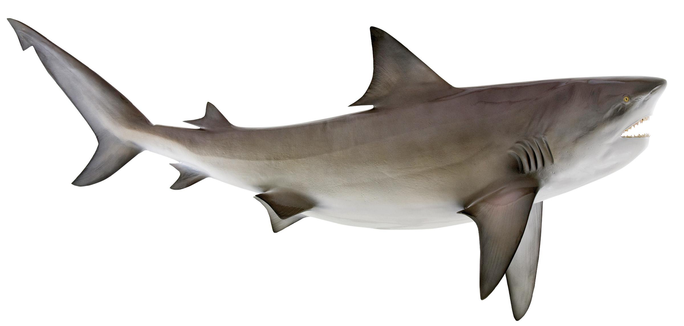 Bull Shark Fish Replica, mounted bullshark