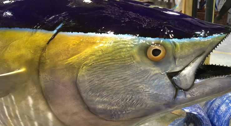 yellowfin tuna mount close up